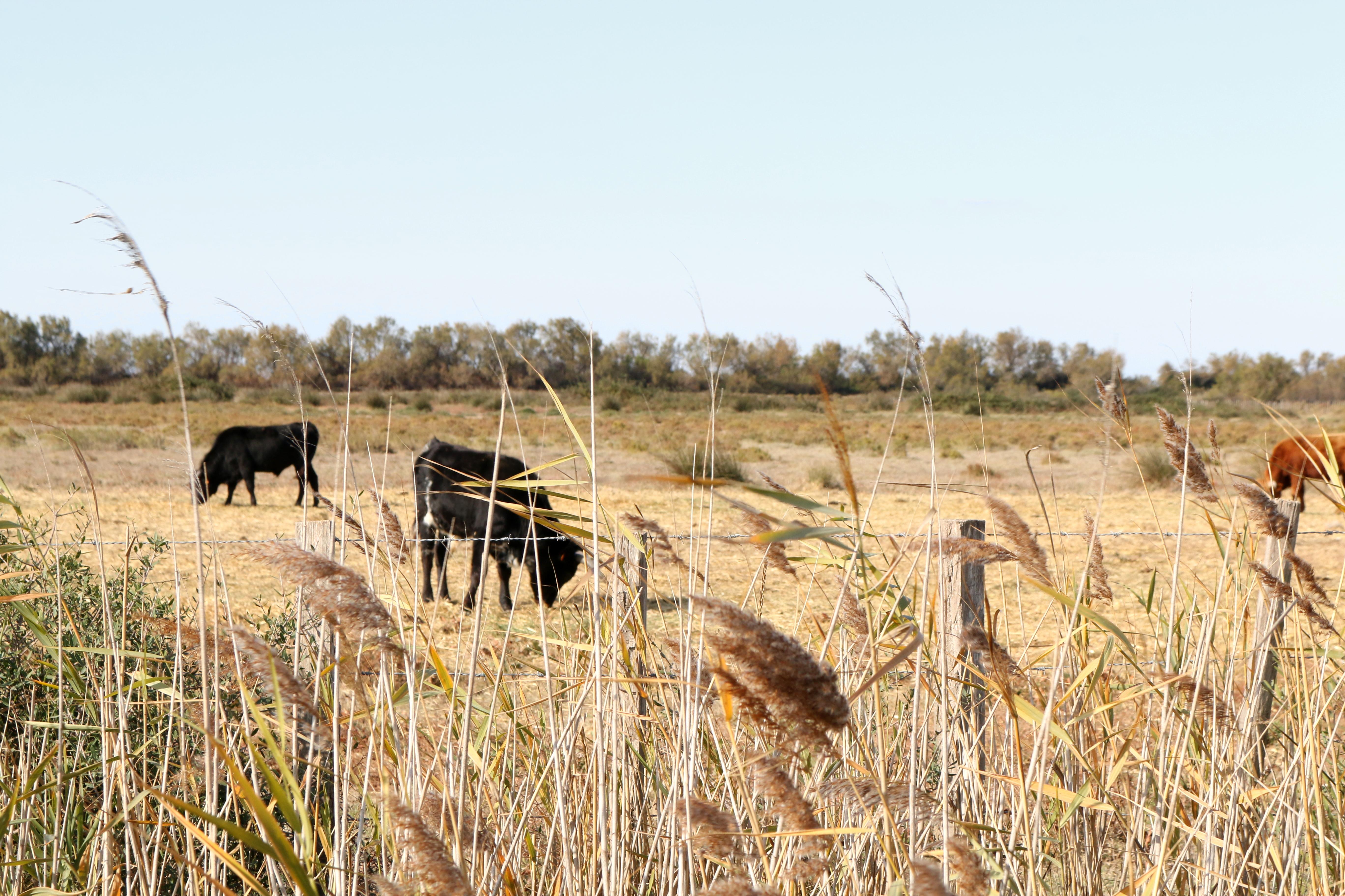 Stiere in der Carmague